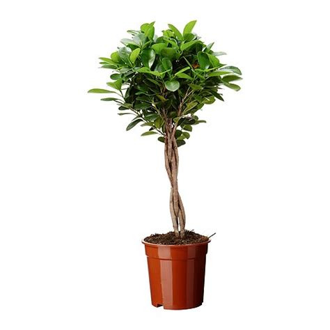 Cleaning Bathroom Taps Ficus Microcarpa Moclame Potted Plant 17 Cm Ikea