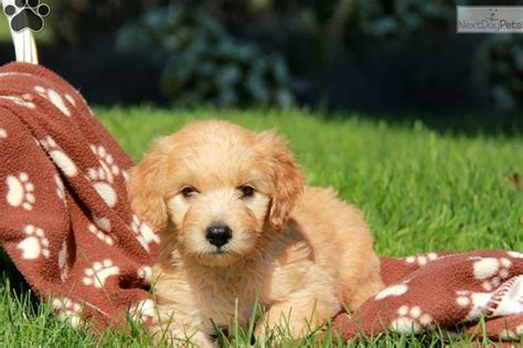 mini goldendoodle puppies for sale near me goldendoodle puppy for sale near lancaster pennsylvania 69d89752 0c91
