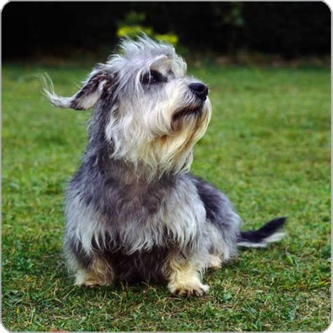 dandie dinmont terrier puppies dandie dinmont terrier info temperament puppies pictures