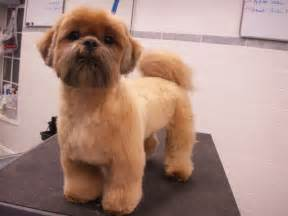 shih tzu haircuts pinterest the world s catalog of ideas