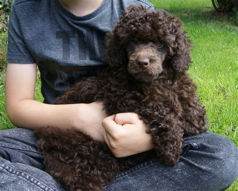 chocolate poodle puppy chocolate miniature poodle puppy ready now builth powys pets4homes