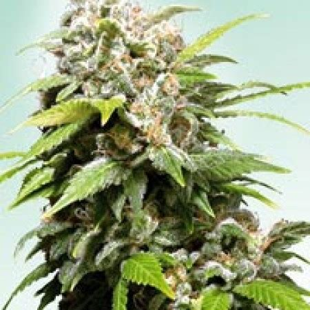 Seed Indica strains related to northern lights seed bank