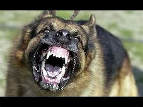 top 10 most dangerous dogs in the world 2013 los angeles