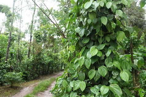 coffee house real estate coffee estate for sale in sakleshpur coffee estate for sale in coorg hassan