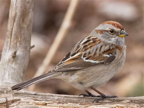 american tree sparrow, identification, all about birds