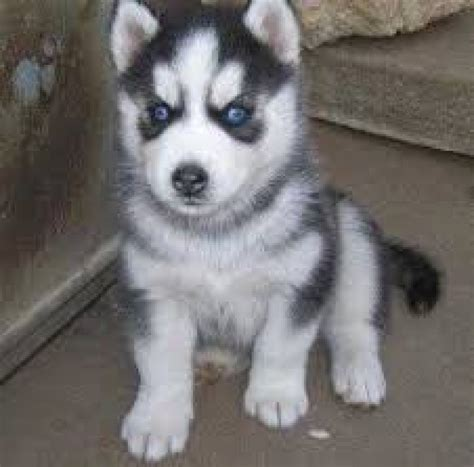 puppies available for adoption near me pennsylvania siberian husky rescue groups autos post