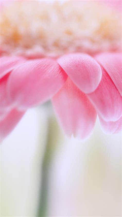pink wallpaper iphone 5c pink chrysanthemum wallpaper free iphone wallpapers