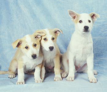 canaan puppies canaan info temperament care puppies pictures