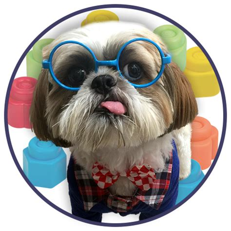 shih tzu tongue sticking out cooper the shih tzu derpy shih tzu best known for sticking my tongue out on command