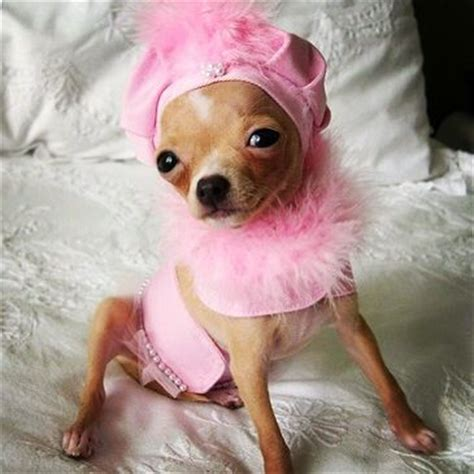 chihuahua puppy clothes chihuahua clothes and for tiny dogs shop the chihuahua store at