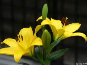 yellow lilies yellow lilies flower pictures wallpoop the wallpaper site wallpoop the wallpaper site