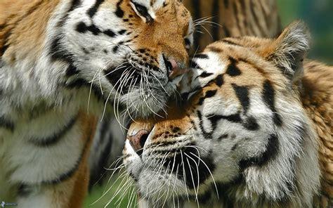 imagenes de animales salvajes en 4k tiger