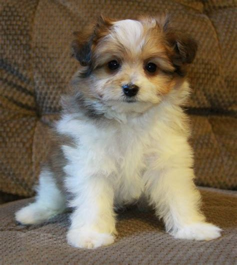 pomeranian mix learn more about the pomeranian shih tzu mix soft and fluffy