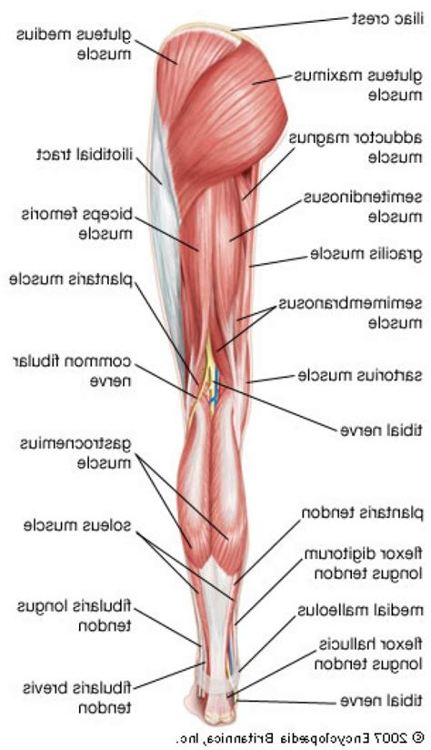 leg muscles diagram lower limb anatomy human anatomy diagram