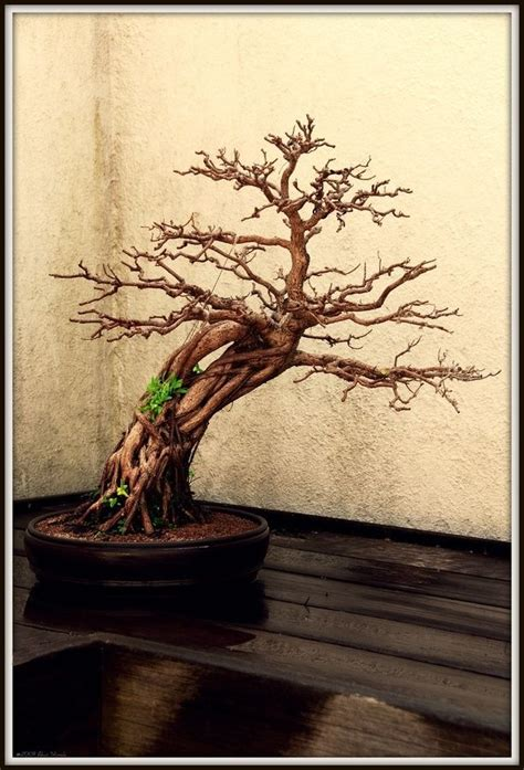 bonsai tree tattoo designs 37 best japanese bonsai tree on cliff images on