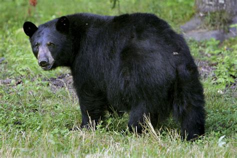 black bear in backyard neighbours divided over police role in newmarket black