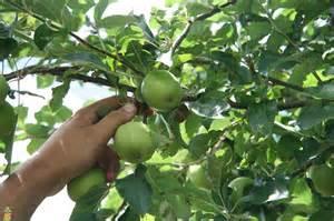 smith apple tree on sale the planting tree
