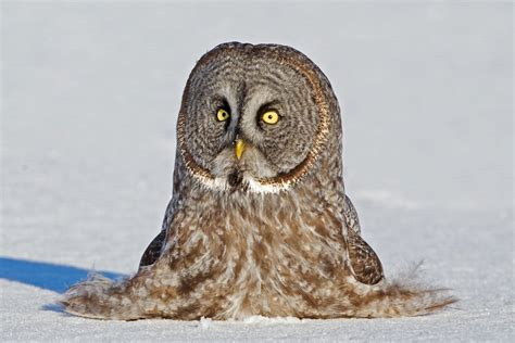 printable real owl pictures 11 fun facts about owls audubon