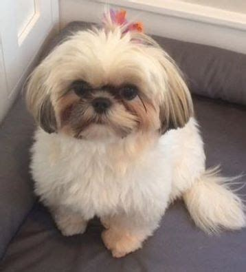 shih tzu intelligence level bark busters breed of the month shih tzu