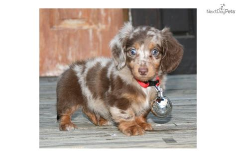 mini dapple dachshund puppies for sale blue dapple dachshund puppies for sale breeds picture