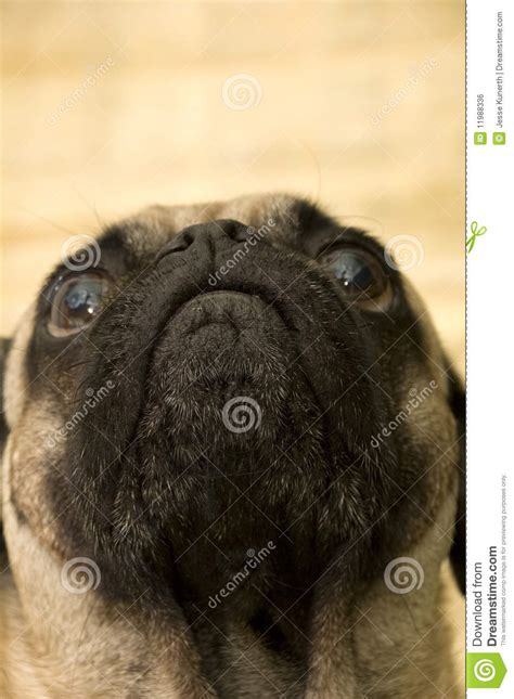 looking pugs pug looking up royalty free stock image image 11988336
