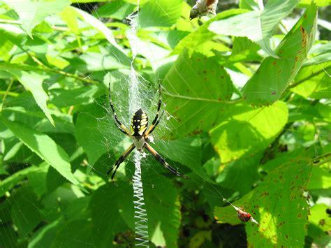 Golden Garden Spider by Yellow Garden Spider By Idolminds On Deviantart
