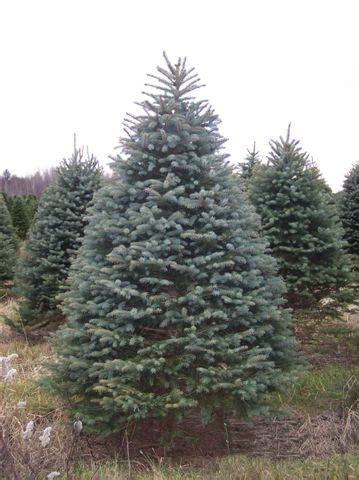 blue spruce mr christmastree com