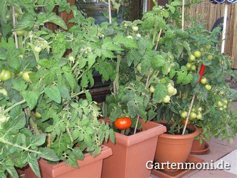 Tomaten Auf Dem Balkon 5347 by Tomaten In Kuebel Gartenmoni Altes Wissen Bewahren