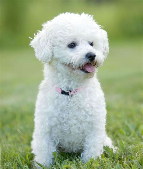 how are dogs considered puppies bichon frise my rocks