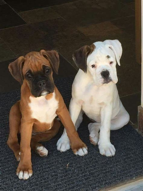 boxer names popular boxer names on boxer puppies boxers and boxer dogs