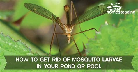 how to rid backyard of mosquitoes how to get rid of mosquito larvae in your pond or pool
