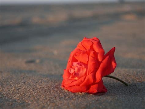 imagenes rosas en el mar rosas en el mar imagui