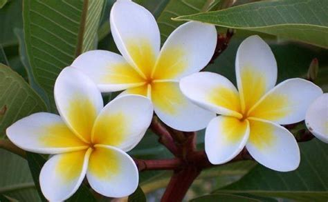 frangipane fiore how to grow frangipani trees