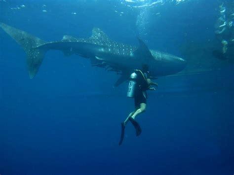 scuba diving the 10 best destinations for whale shark scuba diving holidays