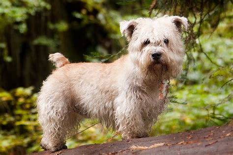 glen of imaal terrier puppies follow the piper glen of imaal terriers