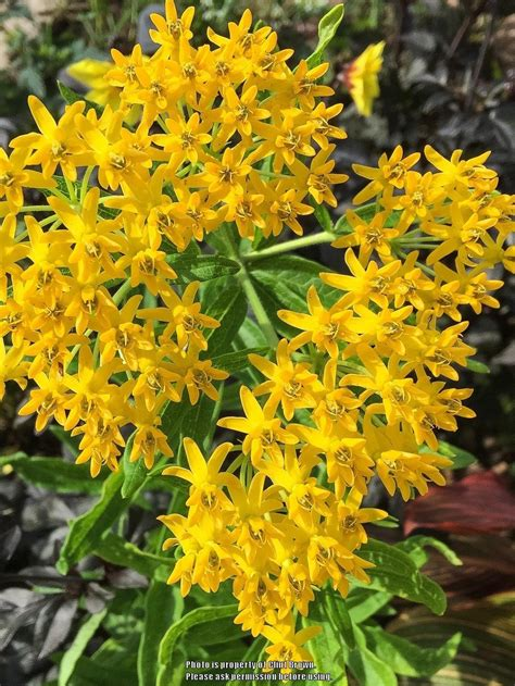 Hello Yellow photo of the bloom of butterfly asclepias tuberosa