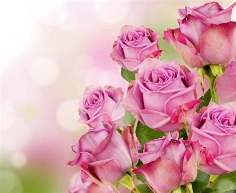 imagenes de rosas sangrando wallpapers roses pink color flowers closeup