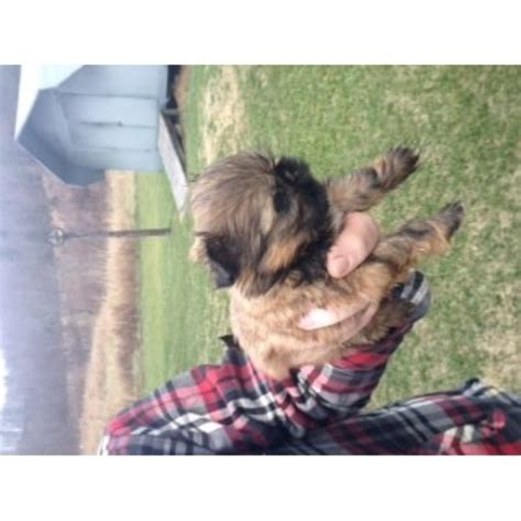 yorkie puppies paducah ky yorkie poo puppies for sale in paducah ky picture breeds picture