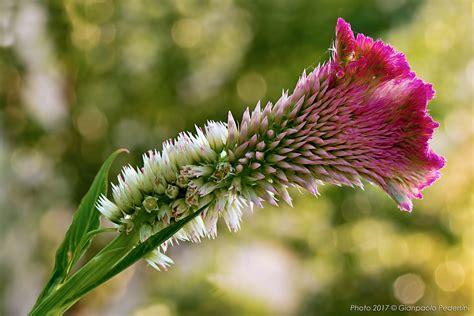 fiore cresta di gallo cresta di gallo foto immagini piante fiori e funghi