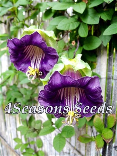 cobaea scandens cathedral bells vine violet 4seasons