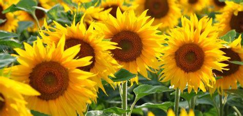 welche blumen im garten pflanzen sonnenblumen vorziehen sonnenblumen noch auss en anbau s