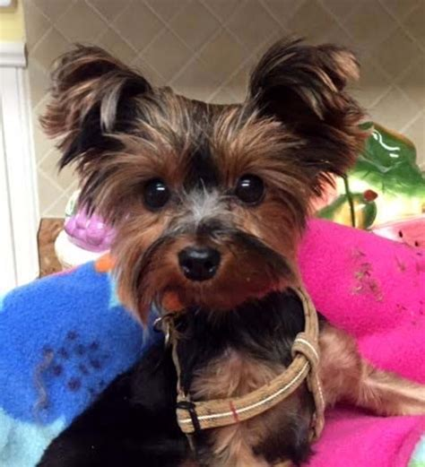 petfinder yorkie save a yorkie rescue petfinder foundation