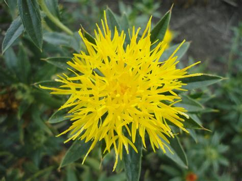 related keywords suggestions for safflower flower