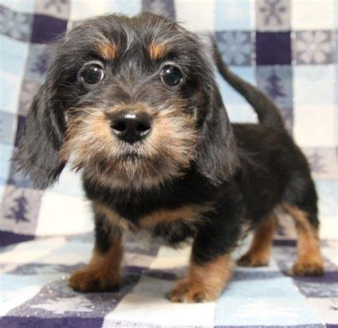 dachshund shih tzu mix shih tzu and wiener mix bully s 1 puppys in and