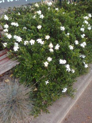 Gardenia Japonica Radicans Creeping Gardenia Images Frompo 1