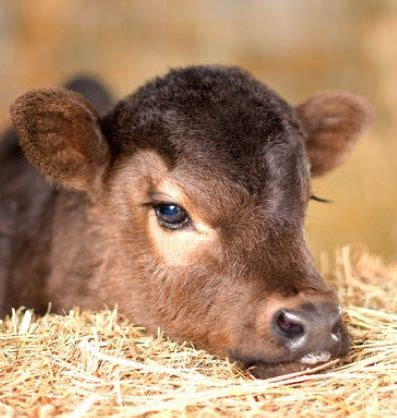 Look At That Farm Animals best 25 baby cows ideas on