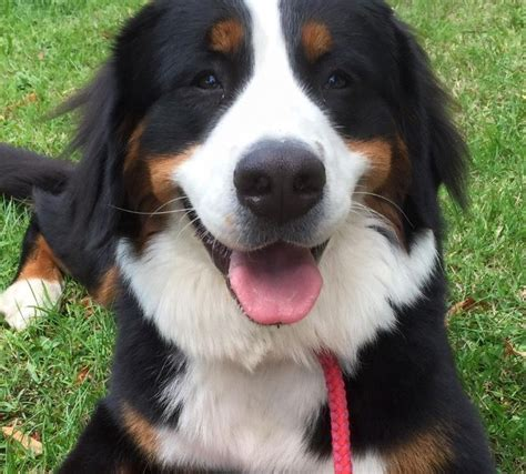 bernese mountain puppies for adoption bernese mountain puppies boston lincolnshire pets4homes