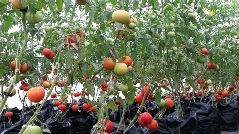 Tomato Greenhouse Crew Jobs in Wisconsin   Beginning Farmers