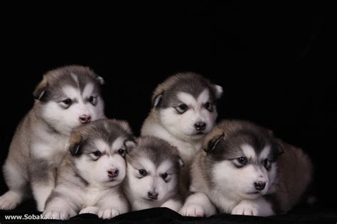 free alaskan malamute puppies alaskan malamute puppies wallpapers and images wallpapers pictures photos