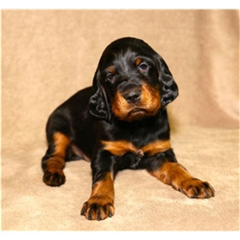 gordon setter hunting dogs for sale gordon setter puppies for sale ad 80245
